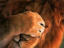 Mac OS X Lion - Le rugissement aura lieu la semaine prochaine ?